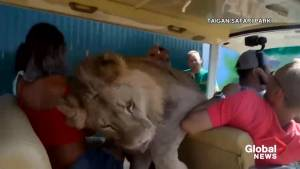 Lion jumps into car at safari park in Crimea, startling tourists
