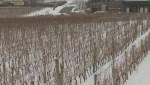 B.C. wineries brace for impact of Alberta's boycott