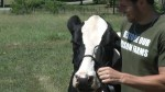 Dairy cows to be part of prison farm program in Kingston