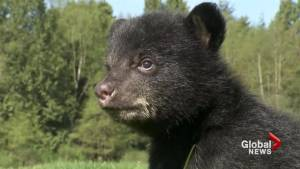Langley facility teaching bear cubs proper nutrition