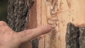 Invasive Emerald Ash Borer making its way to Atlantic Canada, raising concern