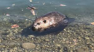 Group offers reward after beaver shot with arrows (00:47)