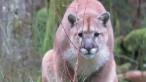 Protecting yourself from conflict with a cougar