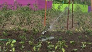 United Way Community Garden in Lindsay aims to tackle food security in Kawartha Lakes