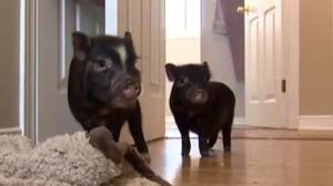 BC family donates piglets to Ontario family after pet pigs killed (02:02)
