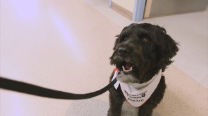 Moxie the pet therapy dog comforts children at Sick Kids Hospital