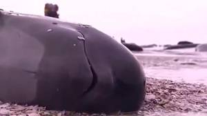 Race to save hundreds of beached pilot whales in New Zealand