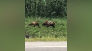 Grizzly bears in Alberta caught on camera chasing black bear away from dinner