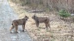Lynx caught on video wailing at each other in Ontario