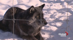 Yamnuska Wolfdog Sanctuary 'at capacity' as popularity of 'direwolves' from Game of Thrones grows