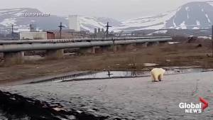 Emaciated polar bear spotted wandering in Russian city