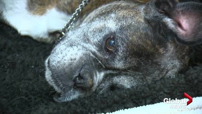 Okanagan family's dog fighting for life after rattlesnake bite