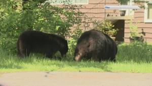 Bear sightings on the rise in the Okanagan as the animals prepare for winter hibernation