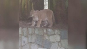 Dramatic cougar video goes viral, sparks conversation