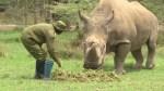 The world's last  male northern white rhino is sick