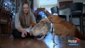 Calgary city council takes first step towards recognizing non-traditional emotional support animals