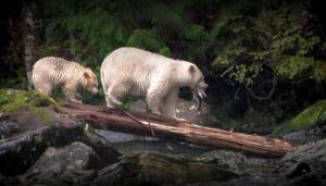 Historic agreement formed to protect B.C.'s Great Bear Rainforest