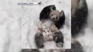 Panda plays in snow at  Washington National Zoo
