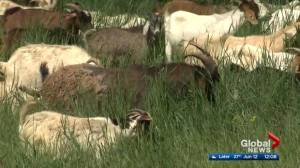 Goats return for weed-eating duty at Rundle Park