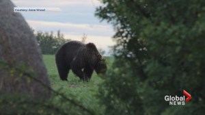 Grizzly bears being spotted in unusual places around Alberta
