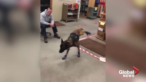 Rapid City police dog struggles with new boots