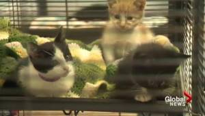 Container cats settle into Calgary animal shelter (00:35)