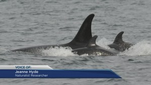 Another J-pod orca calf spotted