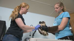 A Healing Journey: helping wildlife at Salthaven West