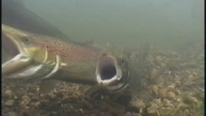 DFO launches pilot project amid wild salmon population concerns