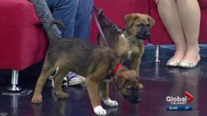 Cochrane & Area Humane Society Pet of the Month: Musketeer pups