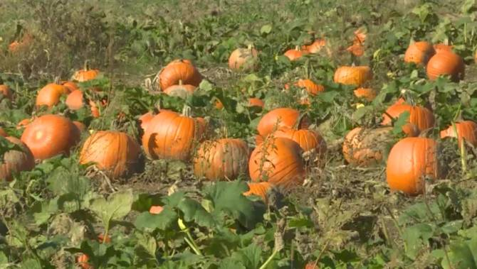 Find out how well the pumpkin season did this year