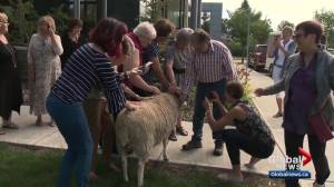 Sheep brings smiles to cancer support centre in Edmonton
