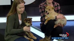 Adopt a Pet: 1 cat, 2 puppies with Second Chance Animal Rescue Society