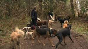 Victoria to limit number of dogs on walkies