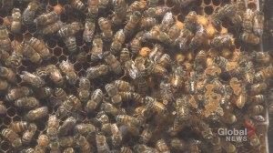 Prolonged winter, hungry bears and lava flow take a toll on Alberta bee population