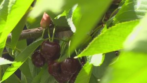Cherry season the pits for some south Okanagan growers