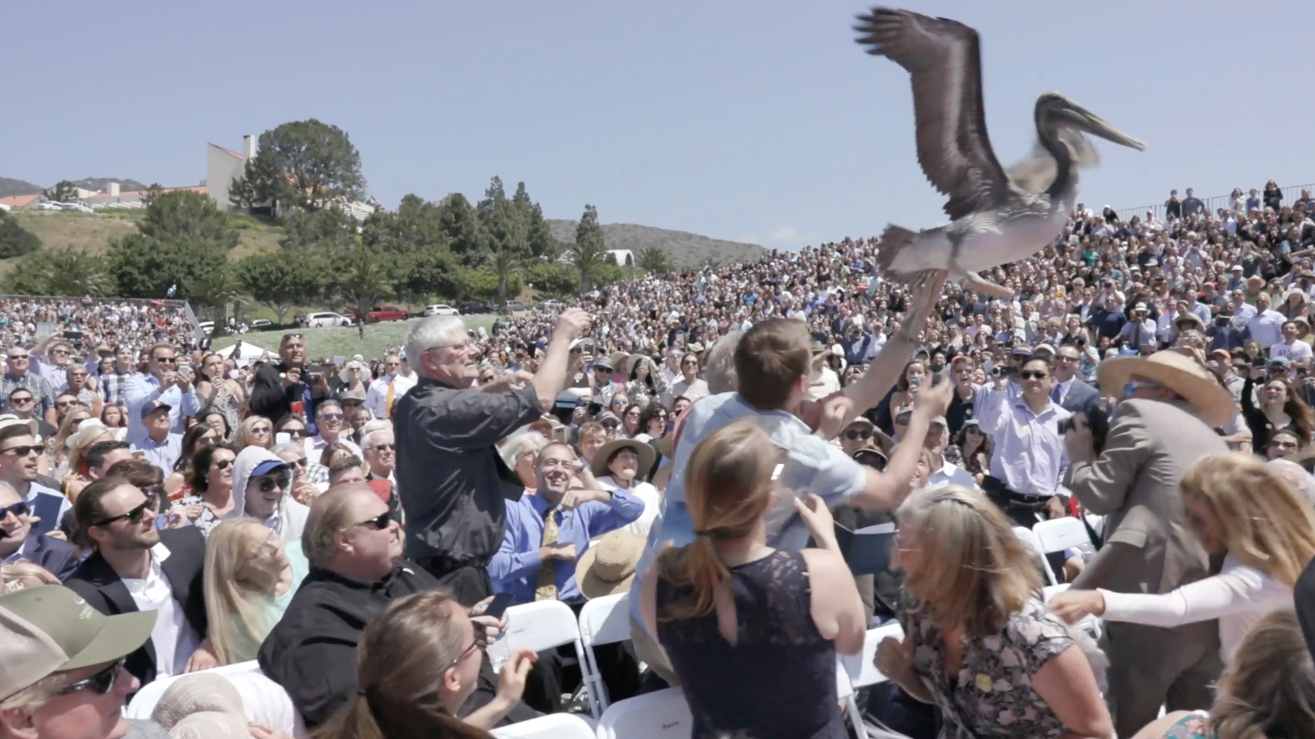 Pelicans dive-bomb California graduation in hilarious, horrifying video