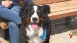 Bernese mountain dogs roam Calgary park​
