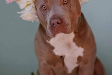 Pit bulls model flower crowns in hopes of erasing bad