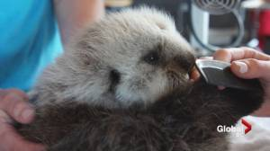 Tiny male sea otter rescued by Vancouver Aquarium
