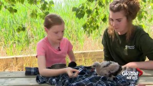 Young volunteer helping with orphaned birds at the Alberta Birds of Prey Centre in Coaldale