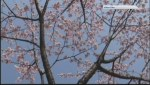 Victoria may lose trademark cherry blossoms