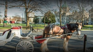 Animal rights activists saddle up for fight to ban horse-drawn carriages in Victoria