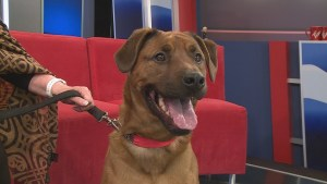 Adopt a Pet: Bruno the Boxer Mix