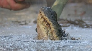 Alligators offer rare glimpse at how they survive cold weather as winter grips southern U.S.
