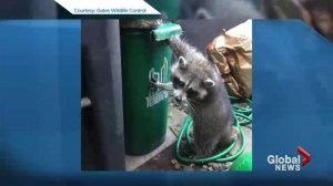 New raccoon-resistant green bins could be coming to Toronto