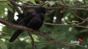 Crow attacks reported in Vancouver's West End