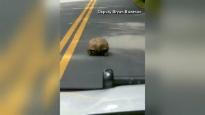 Florida deputy gets stuck behind turtle on road