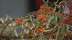 The benefits of seabuckthorn berries in a diet