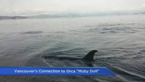 How Moby Doll changed public opinion about killer whales